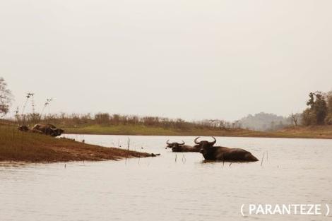 buffalo3_new